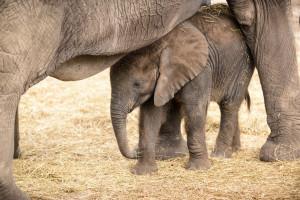 Baby elephant hiding. Image Source: Eric Kilby Follow Baby , Flickr, Creative Commons