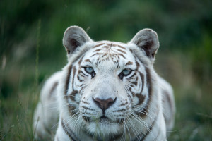 White Tiger. Image Source: Nick Daly, Flickr, Creative Commons