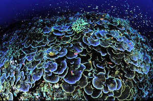 Even the most optimistic predictions of future atmospheric CO2 concentrations (such as stabilization at 450 parts per million) could cause coral reefs to no longer be sustainable. Image Source: US Fish and Wildlife