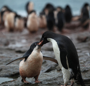 Adélie Penguin regurgitates krill for its chick Image Source: Liam Quinn, Flickr, Creative Commons