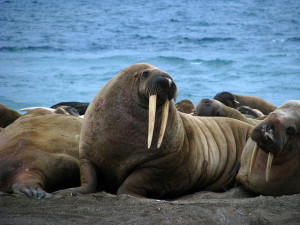 Image Source: claumoho, Florida, Creative Commons Walrus hunk