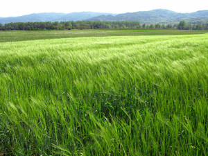 Image Source: Miran Rijavec, Flickr, Creative Commons Growing wheat field, springtime green. Invigorating body, mind and soul. Hopefully not ( yet ) Triticum Monte Santum !!! Who knows ? Why Does Monsanto Always Win?