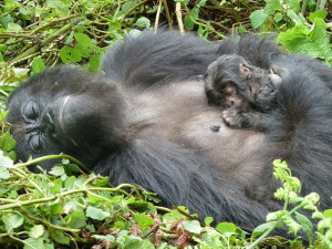 Kwita Izina (Rwanda's Gorilla Naming Ceremony) Flickr, Creative Commons Muganga's baby Sex: Male Date of Birth: 21 May 2013 Mother: Muganga Family Group: Isabukuru