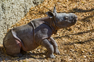 Image Source: Tambako The Jaguar, Flickr, Creative Commons Baby rhino getting up  The same baby rhino, getting up later...
