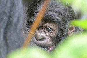 Image Source: Kwita Izina (Rwanda's Gorilla Naming Ceremony), Flickr, Creative Commons Bukima's baby