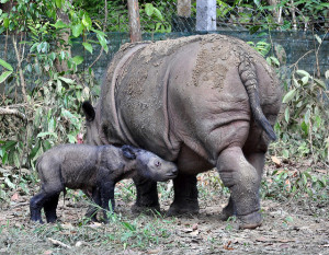 Image Source: International Rhino Foundation, Flickr, Creative Commons Ratu and Baby